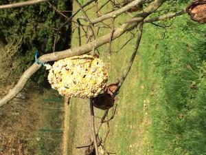 Pommes de pins accrochées dans les arbres